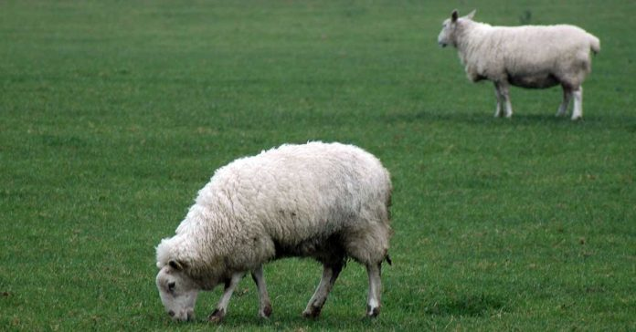 Sheep feeding happily in grass-filled field