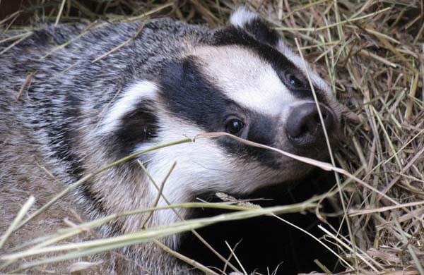 Badger cull.