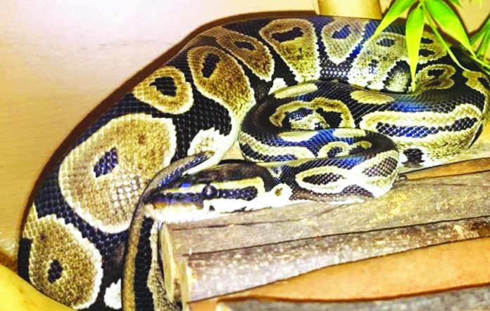 One of Zoo2U's snakes